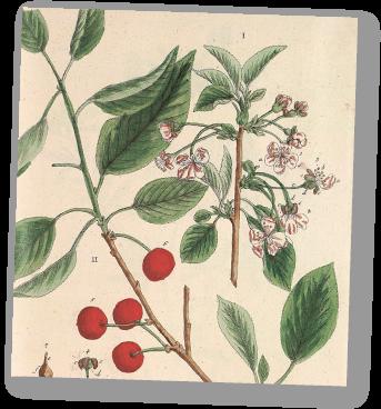 Burgerbibliothek Bern - Kolorierter Kupferstich. Aus: Blackwell Elisabeth: Herbarium Blackwellianum. Nürnberg 1757, Tafel 449