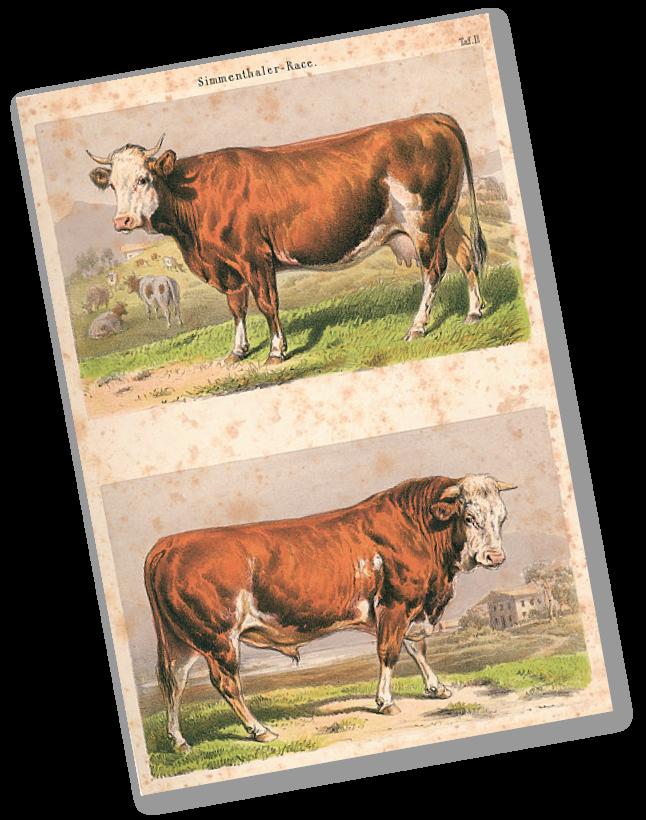 Illustrations de races de bétail de la Suisse, par Adam Benno. Edité par la Société économique de Berne, 1859